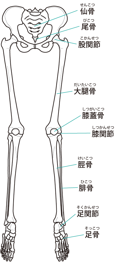下肢 イラスト
