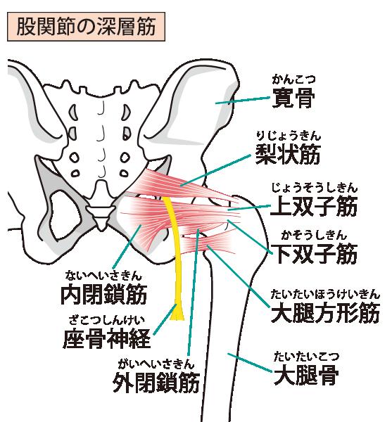 股関節周りのインナーマッスル