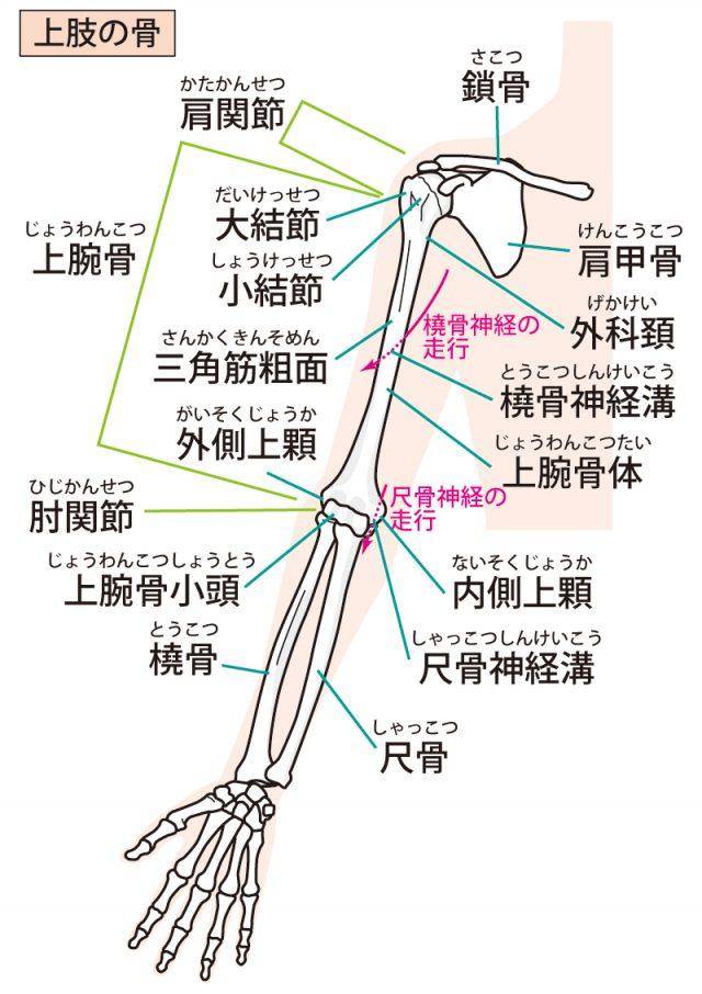 肘周りの関節のイラスト