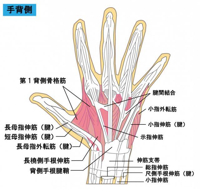 手の筋肉・関節のイラスト